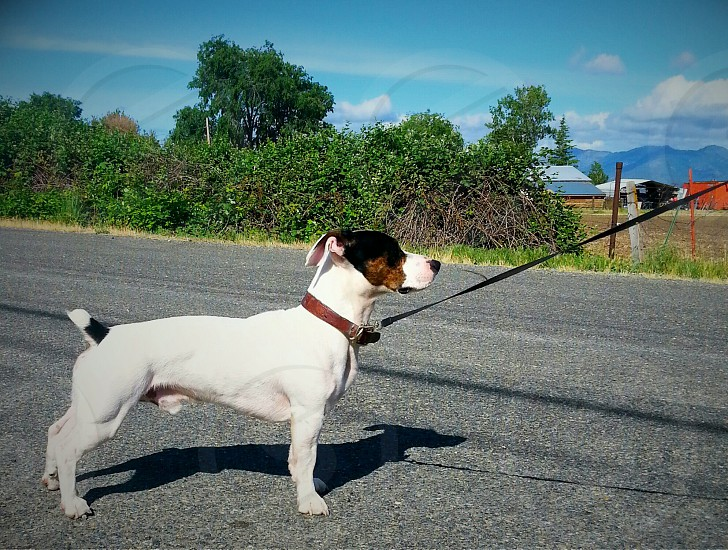 adult white and black Jack Russell terrier with black and brown dog leash standing on the middle of the road during daytime photo