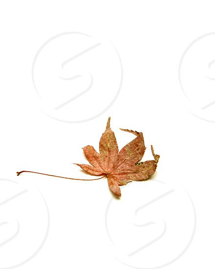 Autumn background falling leaves on white background copy space for your text photo