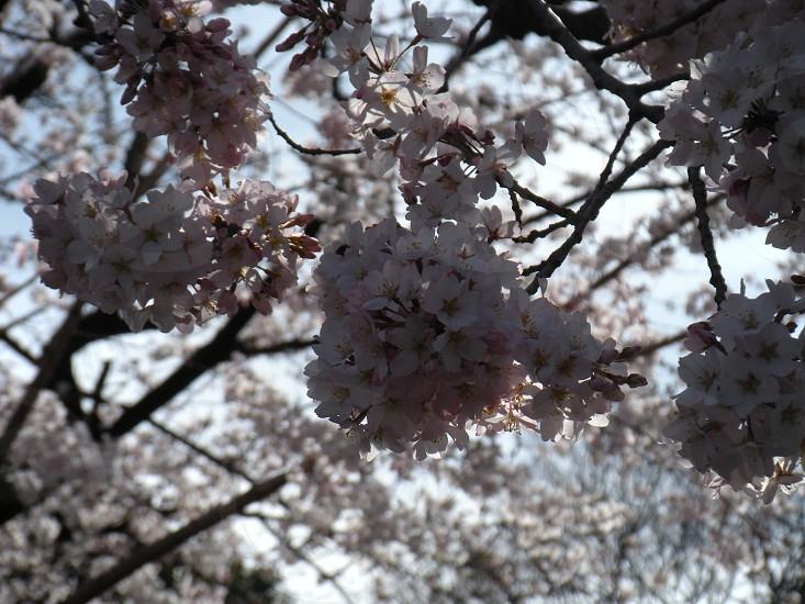 Sakura blossoms during Hanami (flower viewing season) at Ueno Park in Tokyo photo