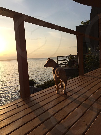 Dog pup puppy terrier jack Russell cairne deck view ocean  photo