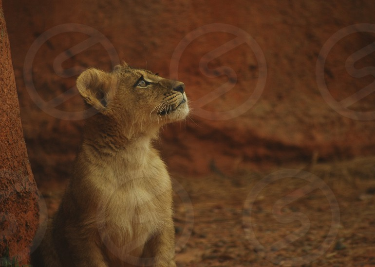 baby lion at the zoo photo