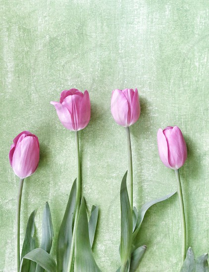 Four Pink Tulips in a Row on A Green Background photo