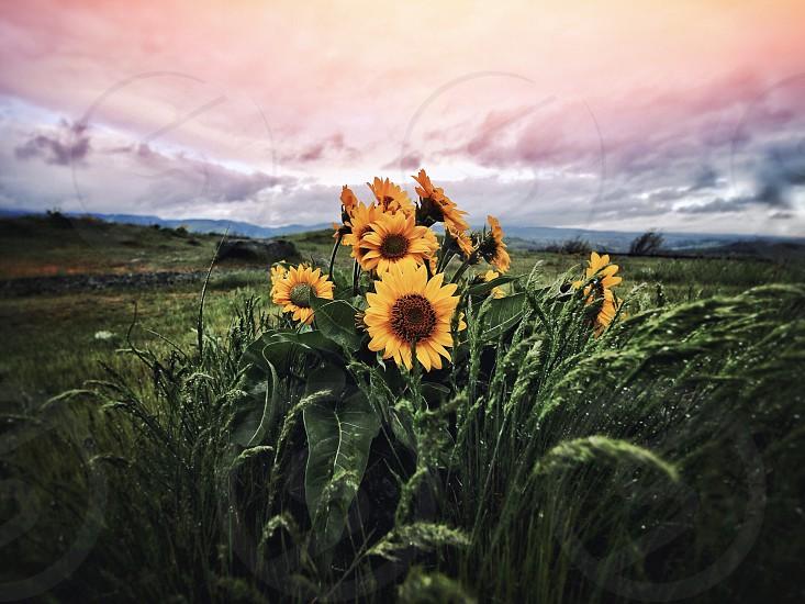 Sunflower flower Oregon nature rain showers photo