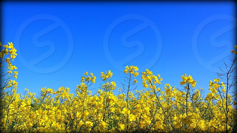 Flower field north of Copenhangen Denmark photo