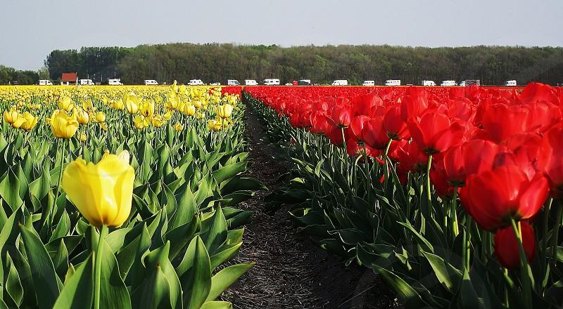 bloembollen campers caravan's  Hillegom De Zilk Nederland photo