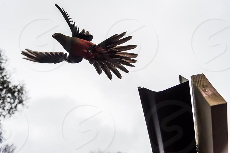 Parrot bird flying flight simplicity  photo