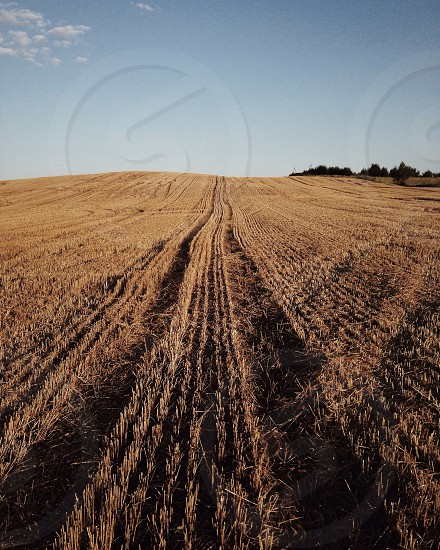 brown wheat field under clear blue sky photo