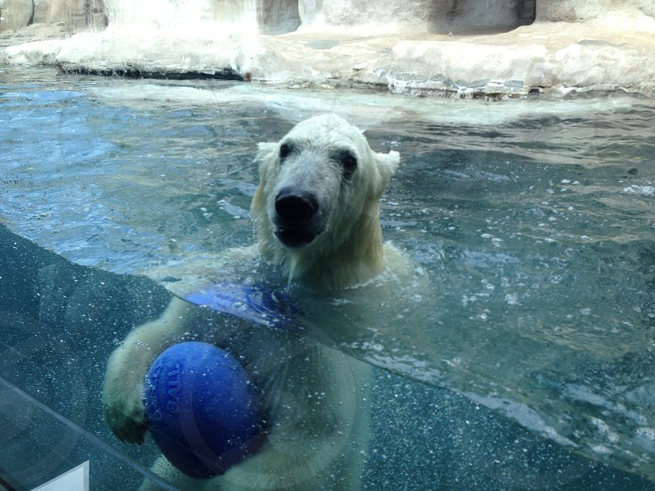 Polar bear playing photo