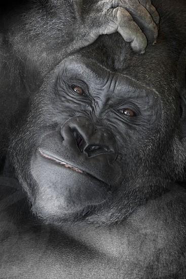 Gorilla Portrait photo