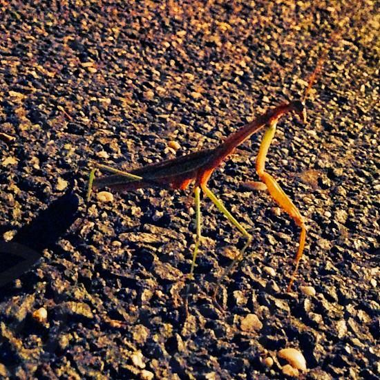Mantis.. photo