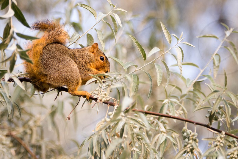 squirrel eating Russian Olive berries photo