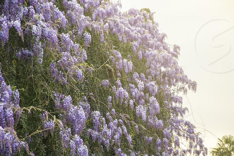 Purple Wisteria Flowers In The Spring Garden By Valerio Rosati