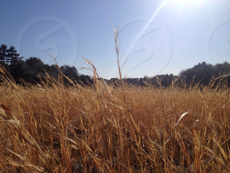 field of gold photo