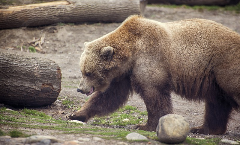 Close up of a grizzly bear. photo