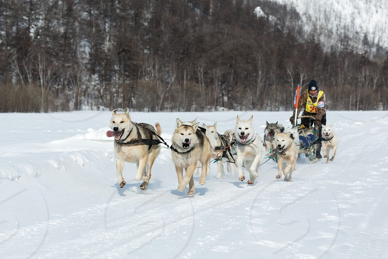 KAMCHATKA RUSSIA - MARCH 9 2013: Running dog sledge team Kamchatka musher Vladimir Selivanov. Traditional Kamchatka extreme Dog Sledge Race Beringia. Russian Federation Far East Kamchatka Peninsula. photo