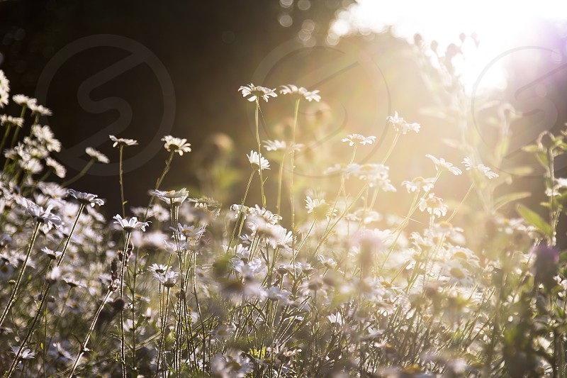 Wild flowers in the morning light photo