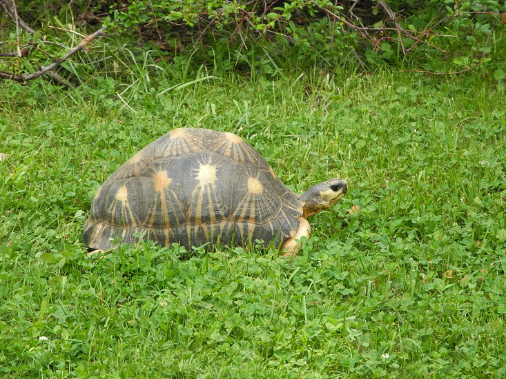 tortoise in the grass photo