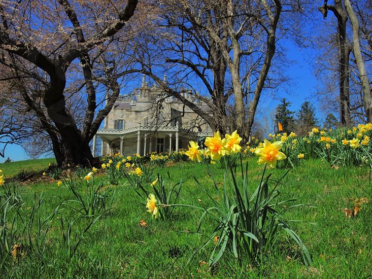 yellow daffodils photo