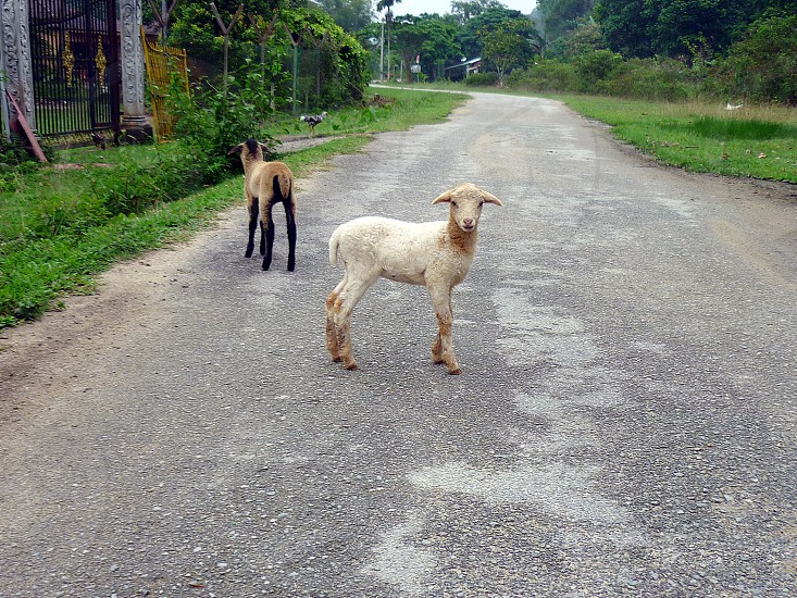 white sheep on middle of road photo