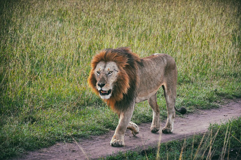 Hungry Lion Patrolling the Grasslands - Maasai Mara National Park Kenya photo