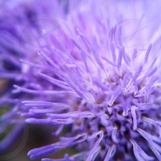 flower macro violet purple photo