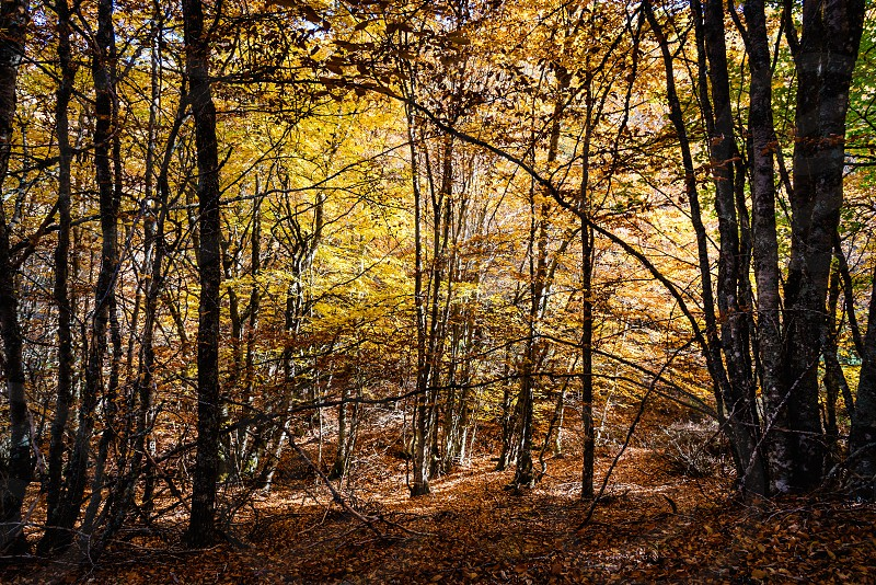 Beautiful autumn beech forest with yellow colors. Beech Forest of Pedrosa in Segovia Spain photo