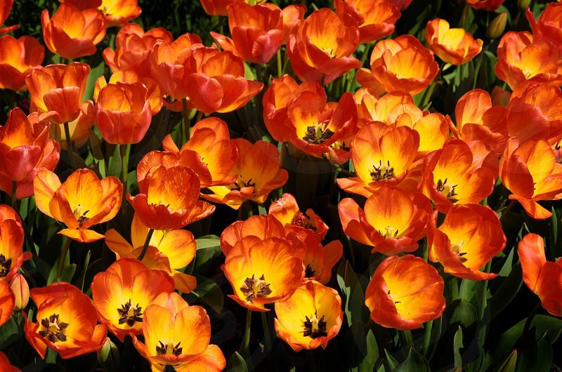 A field of fire tulips in full bloom photo