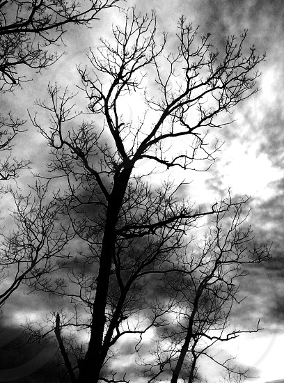 leafless tree branch silhouette over altostratus clouds gray scale photography  photo