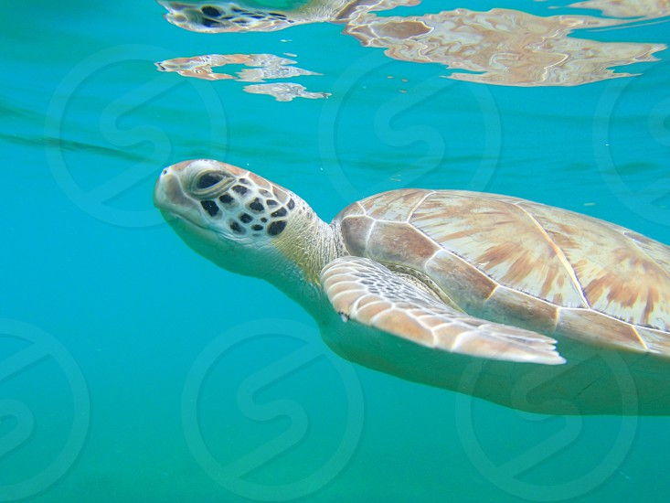 Sea Turtle St John USVI photo