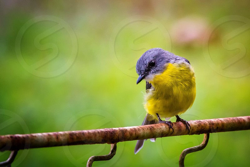 Eastern Yellow Robin birds colour Australia photo