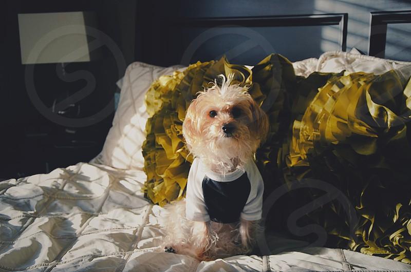 My posing pup Penny Lane. Dog model. photo