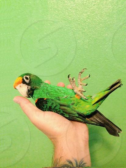 person holding a green parrot bird photo