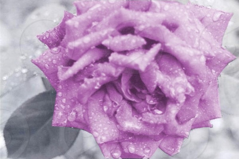 Raindrops on a rose. Georgia; rain; flower; rose; nature; outside; black and white; photography photo