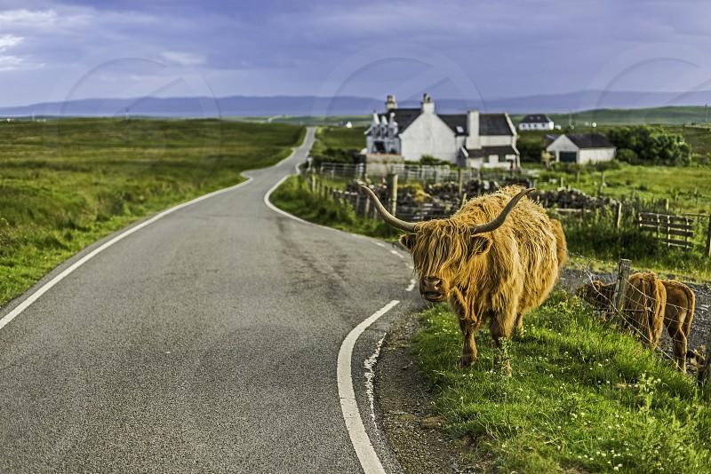 BeastiesHighland cow Isle of Skye photo