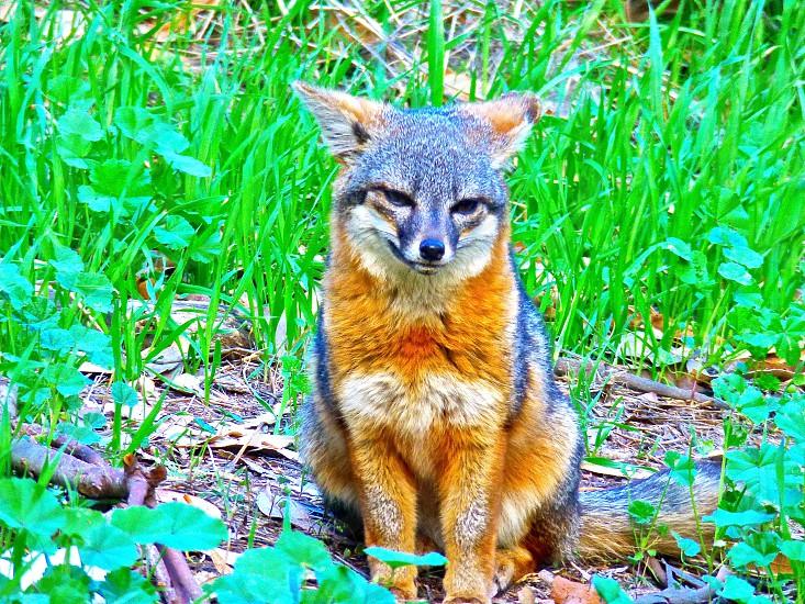 island fox red fox channel island fox fox sitting santa cruz island fox sitting photo