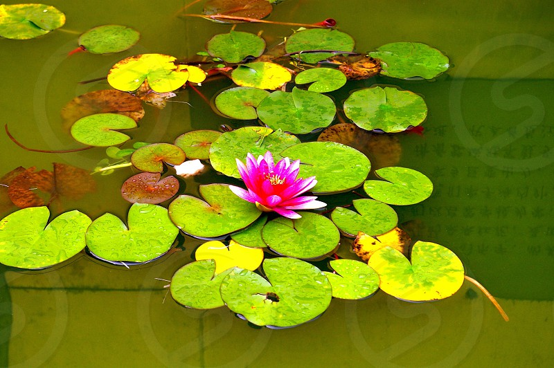 A lotus flower in a pond in Chengdu China photo