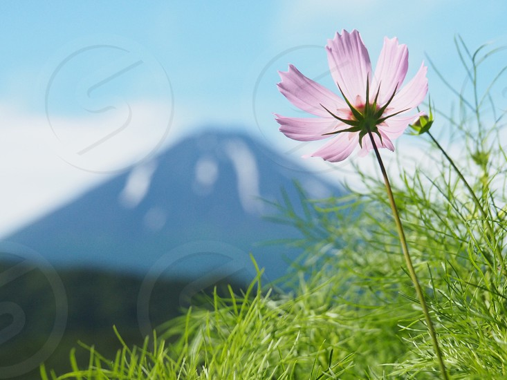 pink cosmos flower selective-focus photography near a mountain at daytime photo