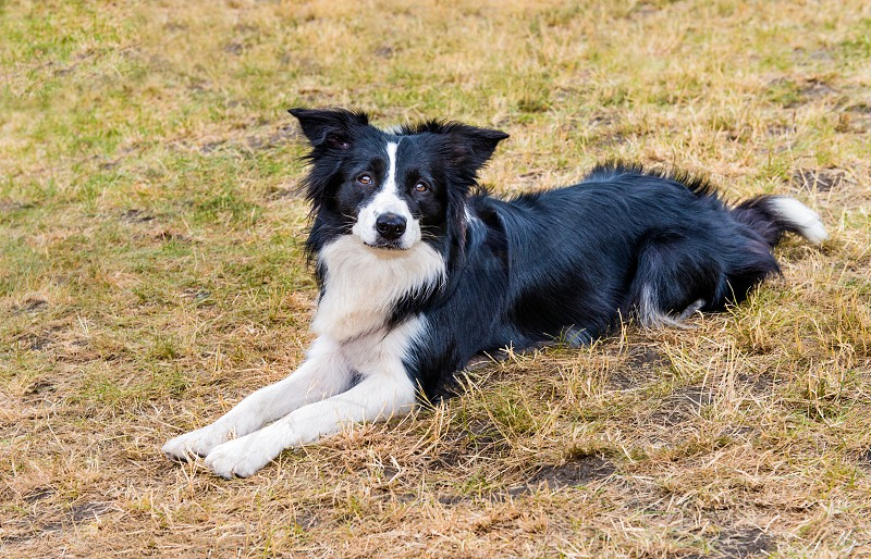Border Collie lies.  The Border Collie lies on the grass in the park. photo