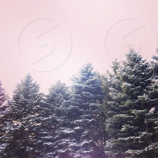 Snow winter sky blue spruce trees photo