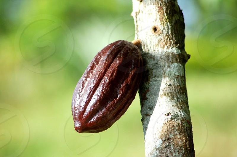 Chocolate tree photo