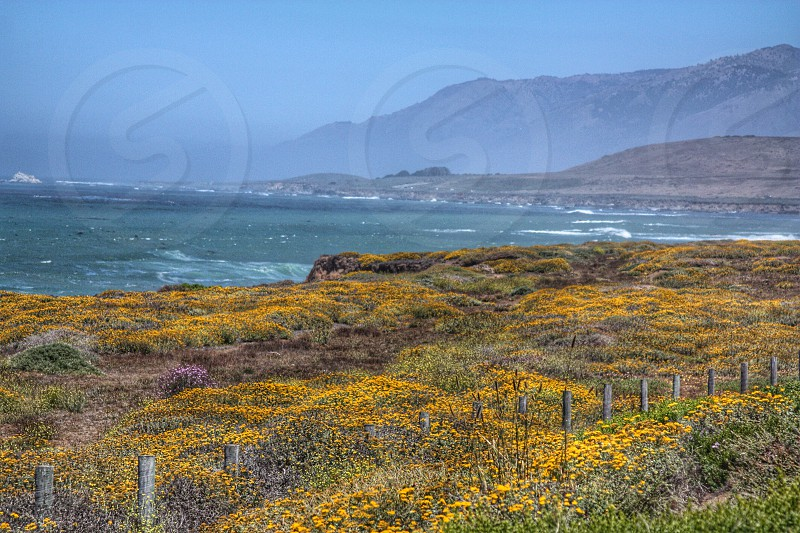 yellow flowering hills overlooking ocean photo