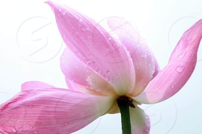 lotus water light stem dew drops photo