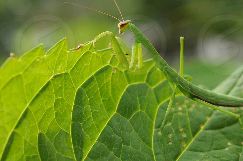 Multi shade green insect preying mantis peeking over leaf  photo
