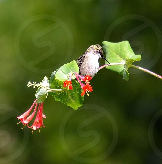 Hummingbird sitting on a red honeysuckle branch. photo