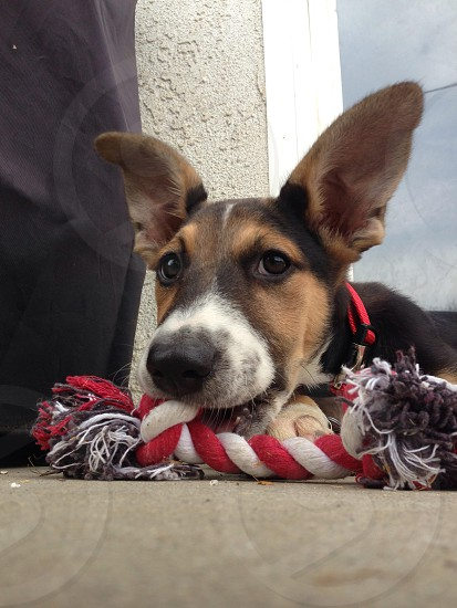 New rescue puppy Rosko enjoying his first toy.  photo