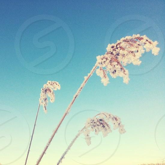 snowy reed photo