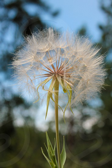 Closeup of large dandelion; blue sky and blurred trees in the background. photo