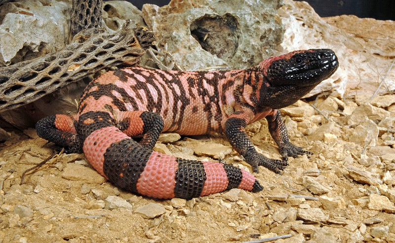 Gila monster (Heloderma suspectum) - a well-fed specimen with a fat tail. photo