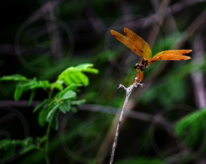 Orange dragonfly resting on a twig with green foliage in the background. photo