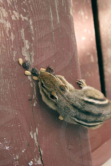 brown and gray chipmunk photography photo